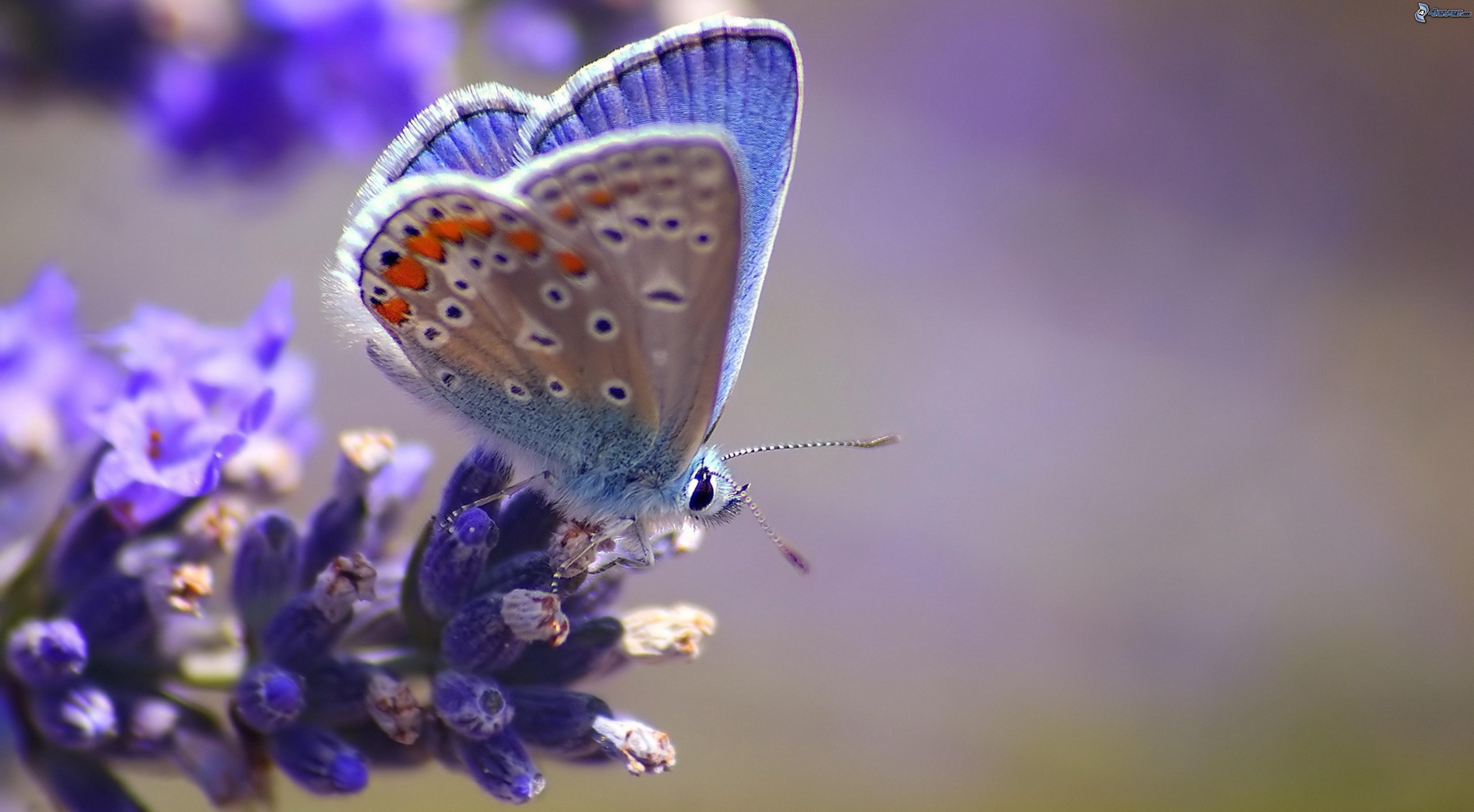 papillon-bleu,-fleur-bleue